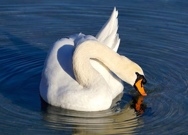 Swan, White, Water, Bird, White Swan, Lake, Water Bird