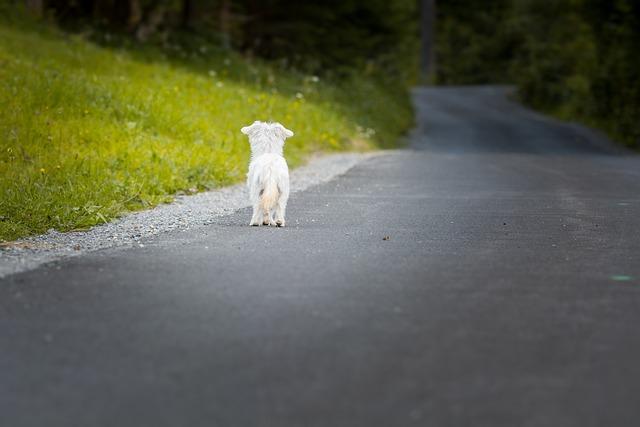 Dog, Animal, Pet, Small Dog, Mammal, Maltese, White