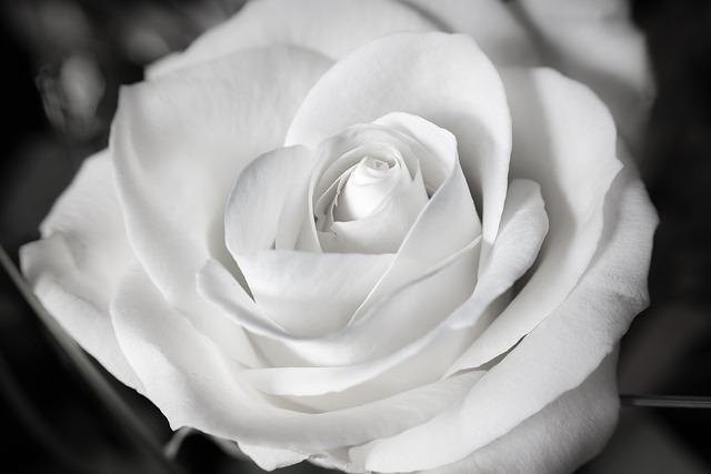 Rose, White, Wedding, Baptism, Communion, Marry, Purity