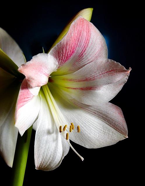 Amaryllis, Plant, Flower, Nature, Blossom, Bloom, White