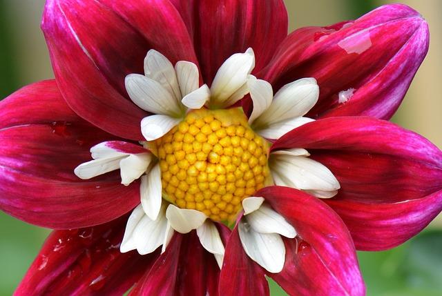 Flower, Nature, Dahlia, White, Purple