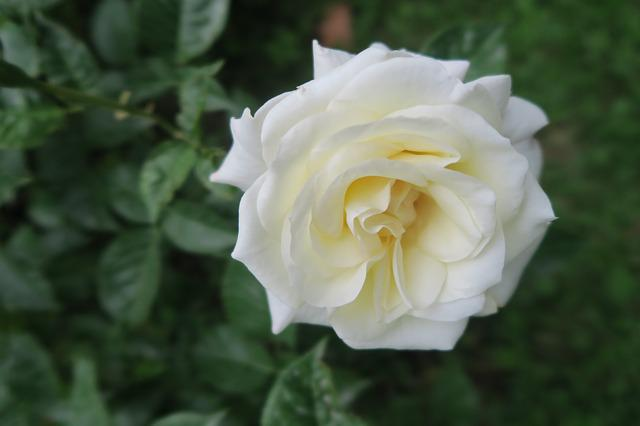Rose, White Rose, Nature, Plant, Flower, Garden, White