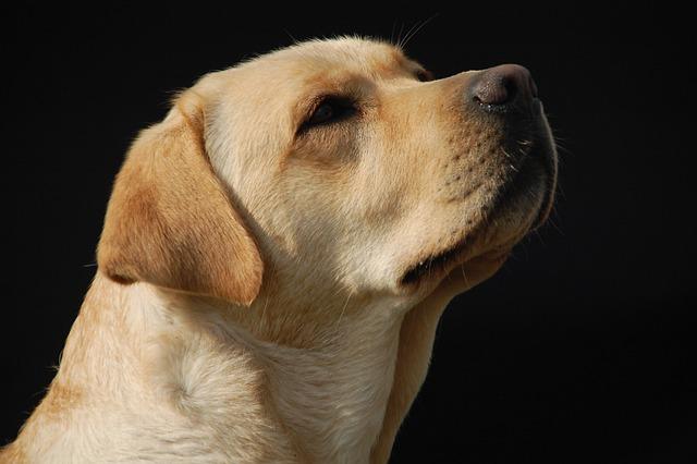 Goden Retriever, Dog, Labrador, Bitch, Pet, White