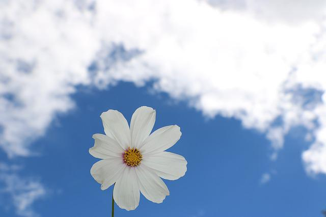 Blue Sky, White Cloud, Flowers, White Petals