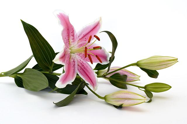 Lily, Blossom, Bloom, Flower, Pink, White, Green