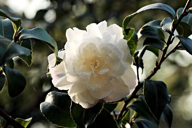Camellia, Flower, White, White Flower, Plant, Blossom