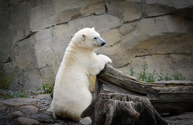 Polar Bear, Young Polar Bear, White, Young