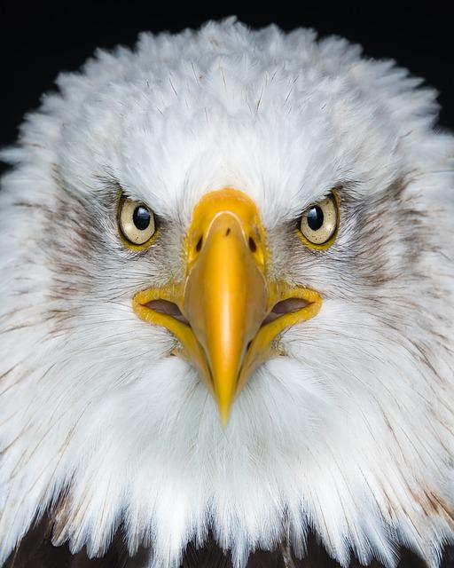 Eagle, White, Brown, Ave, Portrait, Predator, Nature