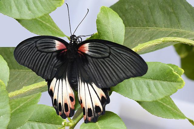 Butterfly, Insect, Wing, Animal, Black, White, Red