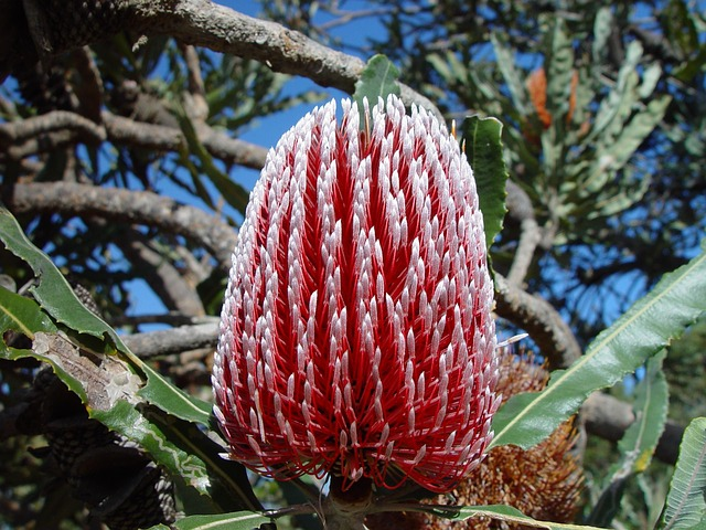 Banksia, Flower, Australia, Close-up, Red, White