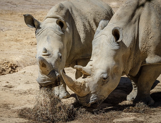 Rhinoceros, White Rhinoceros, White Rhino
