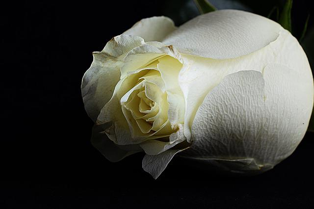 Rose, White Rose, Black Background, Flower