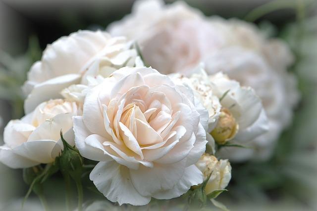 Flowers, Rose Flower, Rose, Cream, White, Rahmgelb