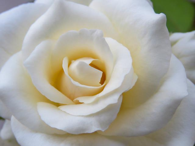 White Rose, Rose, Rose Flower, Just Rose, Wedding
