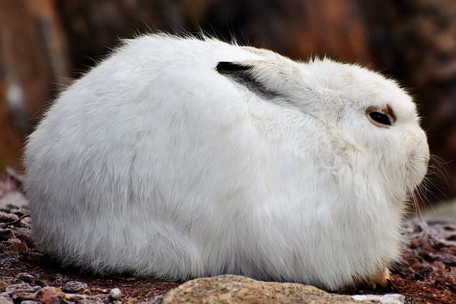 Schneehase, Hare, Doe, Winter, Cold, Wintry, White, Fur