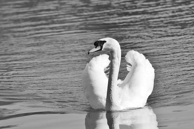 Swan, Bird, Water Bird, Animal, White, Schwimmvogel