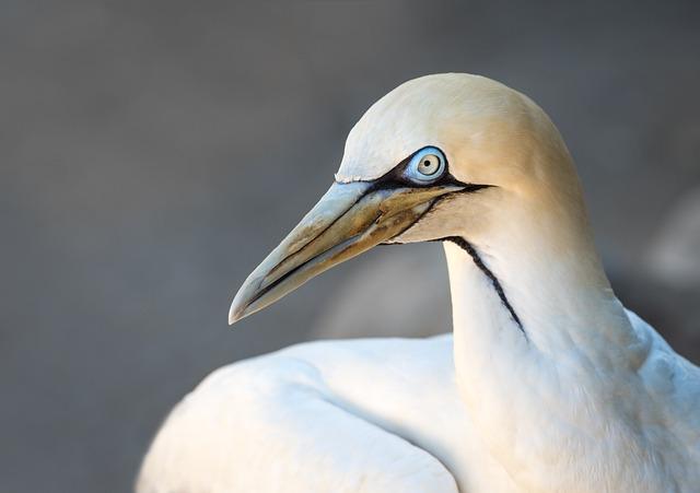 Portrait Of A Cape Gannet, Bird, Seabird, White, Gannet