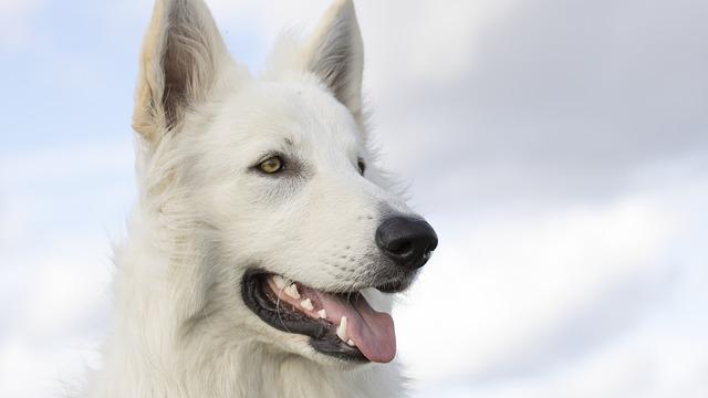 Dog, White Sheppard, Canine, Pet, Domestic, Animal