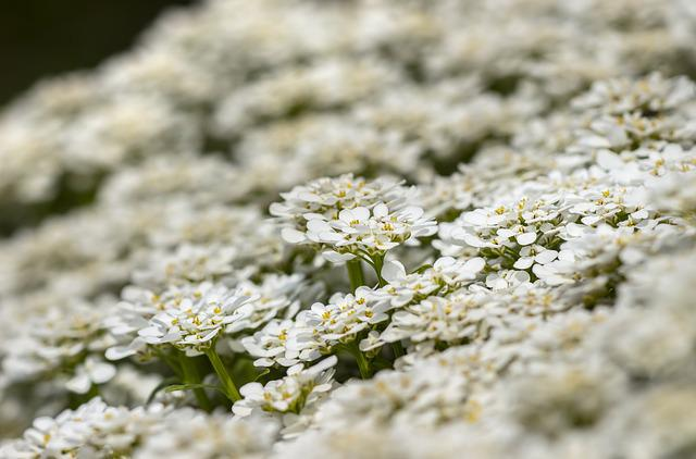 Flowers, Ground Cover, Blossom, Bloom, White, Spring