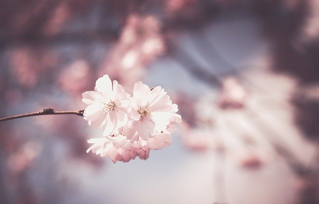 Pink, Flower, Tree, Bloom, Spring, Floral, White
