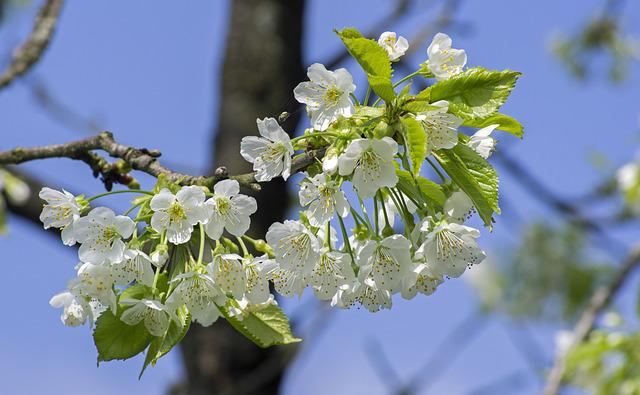 Cherry Blossom, Blossom, Bloom, Spring, White, Tree
