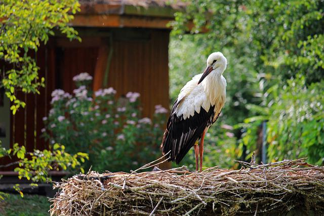 Stork, Rattle Stork, Bird, Nature, White Stork, Feather