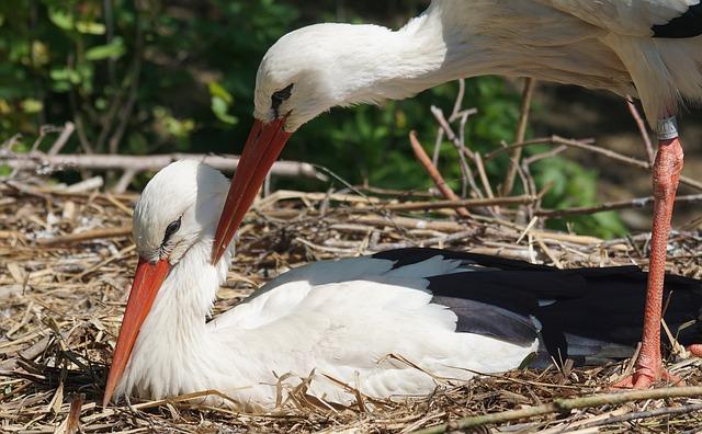 Stork, Scrim, White Stork, Rattle Stork, Breed, Caress