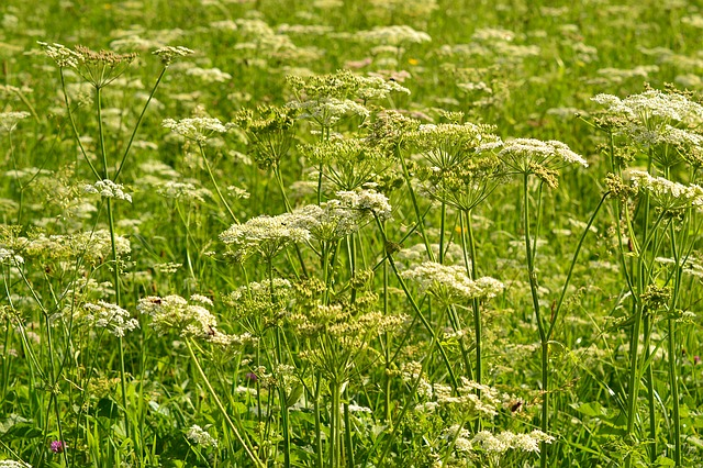 Meadow, Summer, Flowers, Sheep Gift, White, Landscape