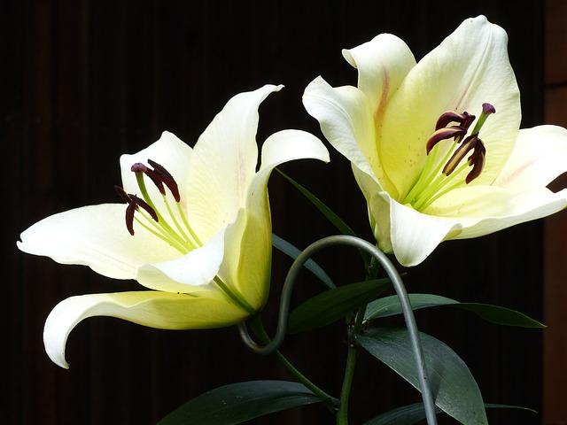 Lilies, White, Garden, Summer