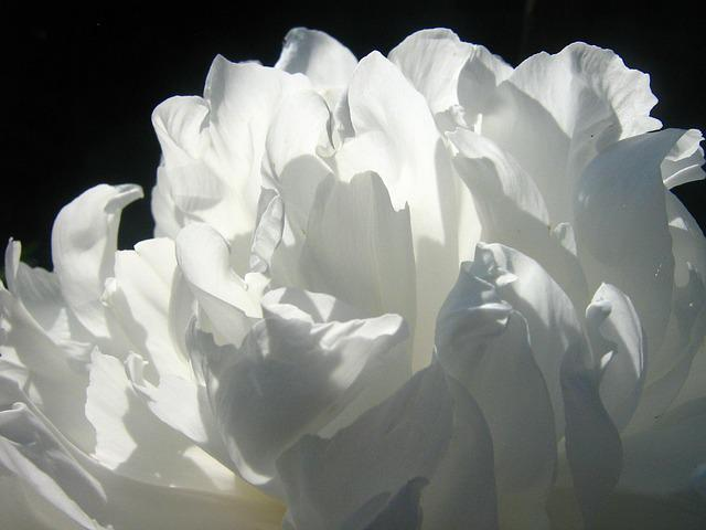 Peony, Flower, White, Summer, White Flower