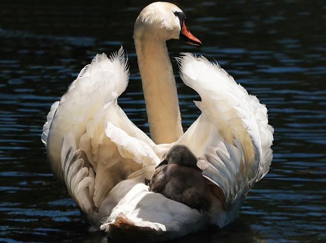 Swan, Baby Swan, White, White Swan, Water, Lake, Bird