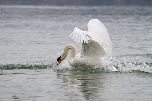 Swan, Lake, White Swan, Animal World, Waters, Bird