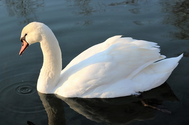 White Swan, Water, Lake, Bird, Cute, Nature, Outdoors