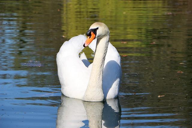 Mute Swan, Swan, Water Bird, Swans, White, Nature