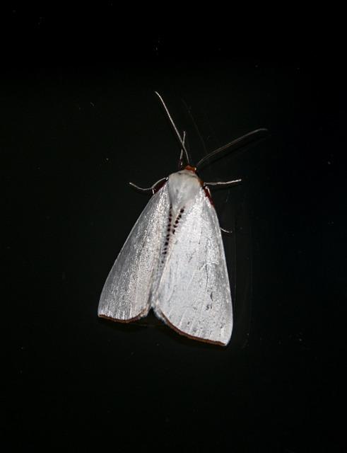 Moth, Large, Insect, White, Thalaina Selenaea