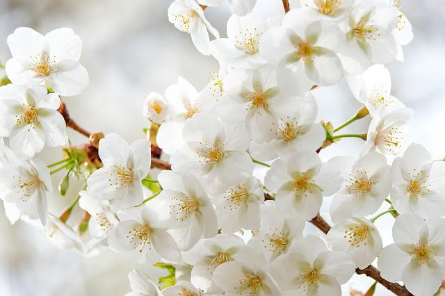 Tree Blossoms, White, Nature, Branch, Spring, Petals