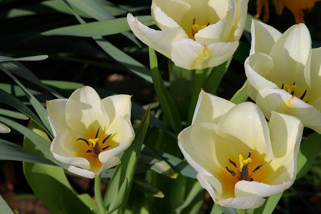 Tulips, Open, White, Yellow, White Tulips, Detail