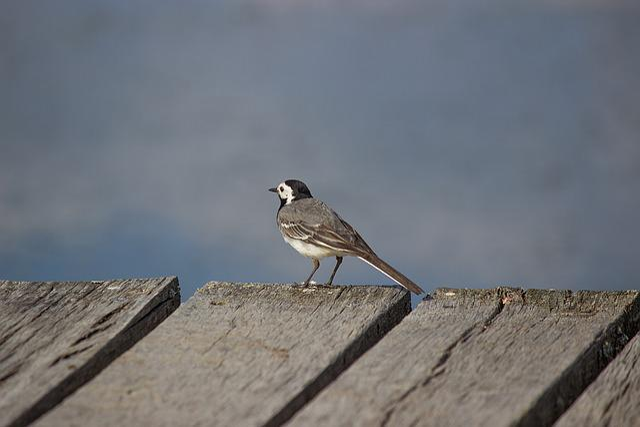 White Wagtail, Songbird, Motacilla Alba, Nature