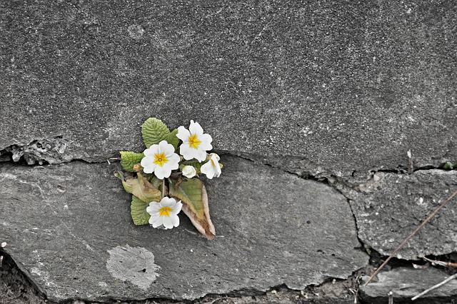 Primrose, White, Wall, Wall Flower, Stone Wall, Flowers