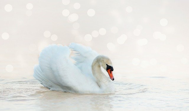 Swan, White, Nature, Water Bird, Water, Bird