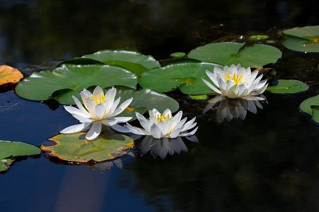 Water Lilies, White Water Lilies, Kite, Lotus