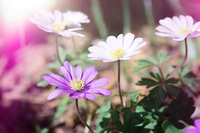 Anemone, Flowers, White, Violet, White Anemone