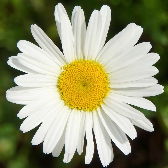 Daisy, Leucanthemum Vulgare, White Wild Flower