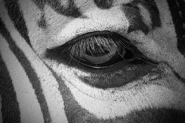 Zebra, Eye, Animal, White, Nature, Black, Wildlife