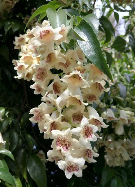 Wonga Wonga Vine, Flowers, Bell-shaped, White