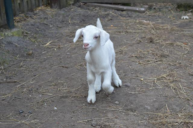 Goat, Kid, Young Animal, White
