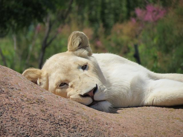 Lion, White, Female, White Lion, Zoo