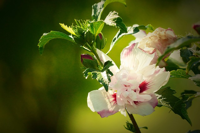 Hibiscus, White-pink, Close Up, Flower, Blossom, Bloom