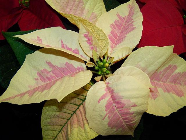 Poinsettia, White-pink Version, Potted Plant
