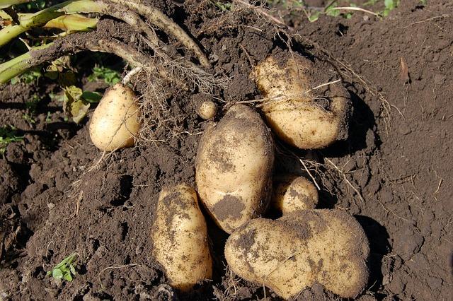Potatoes, Land, Fruit, Why, Potato, Haulm, Light, Roots